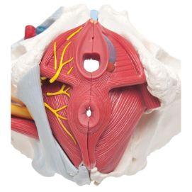pelvi-femminile-3b-scientific-con-legamenti-vasi-nervi-pavimento-pelvico-e-organi-in-6-parti-h204